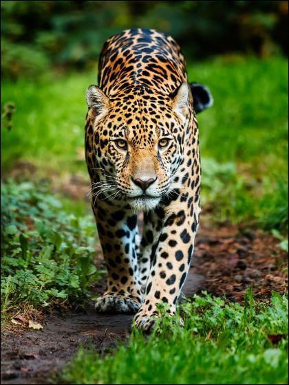 Le jaguar est-il canidé ou félin ?