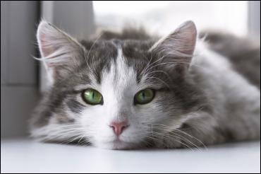 Le chat est-il canidé ou félin ?