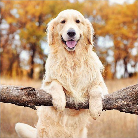 Le chien est-il canidé ou félin ?