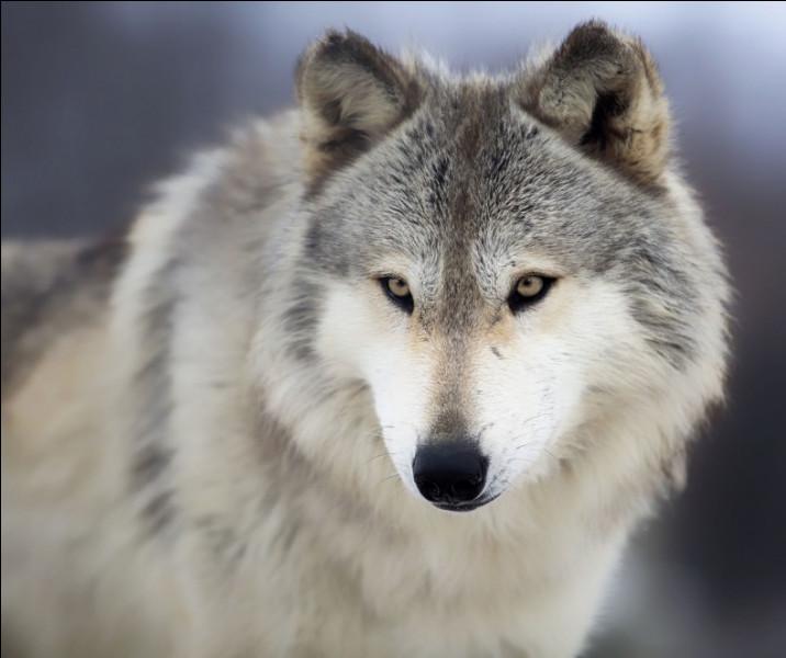 Le loup est-il canidé ou félin ?