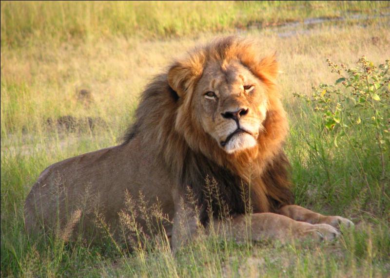 Le lion est-il canidé ou félin ?