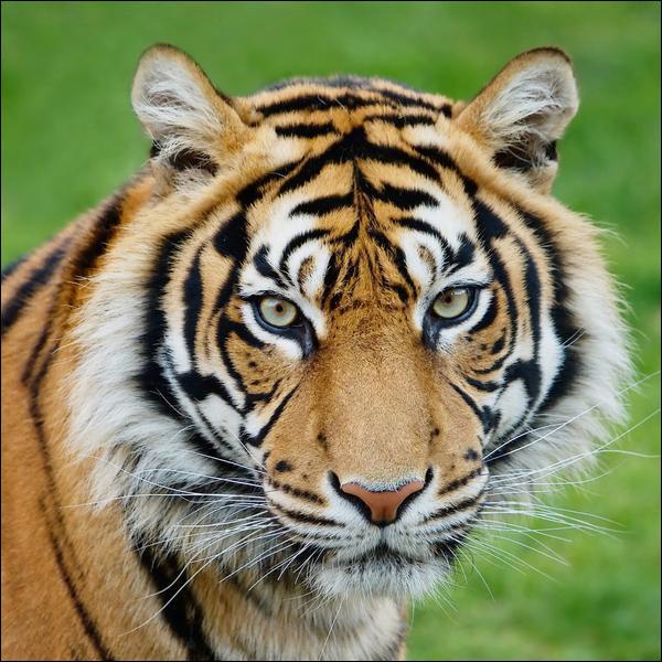 Le tigre est-il canidé ou félin ?