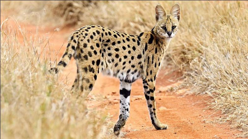 Le serval est-il canidé ou félin ?