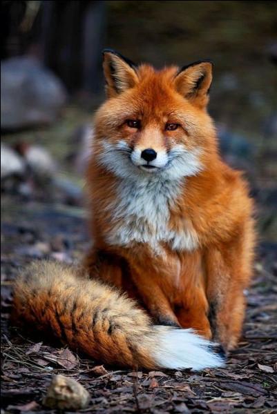 Le renard est-il canidé ou félin ?