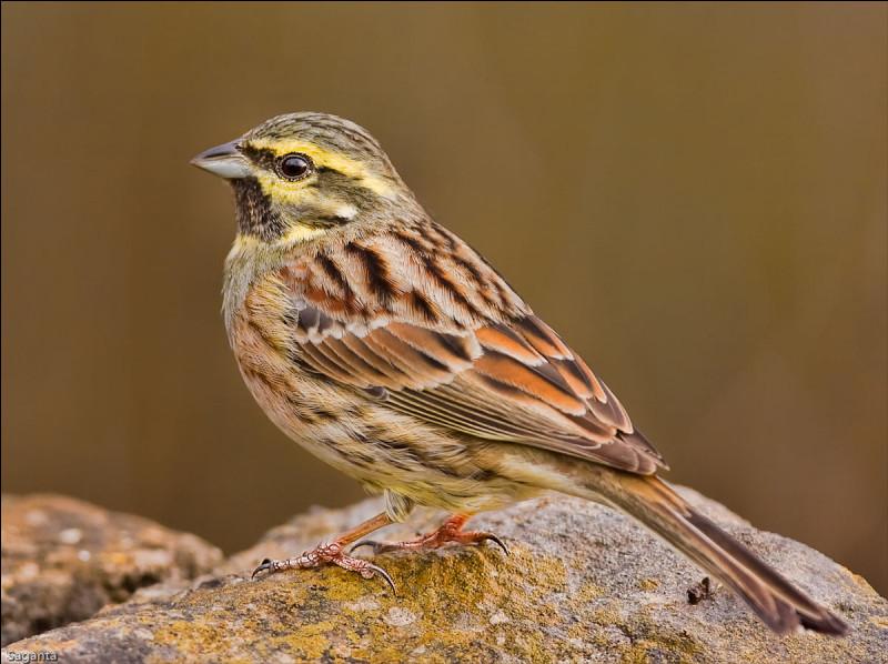 Quel est cet oiseau granivore, un passereau d'Europe méridionale, animal grégaire et sédentaire ?