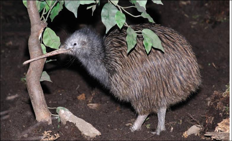Quel est cet oiseau endémique de la Nouvelle-Zélande, incapable de voler et de la taille d'une poule ?