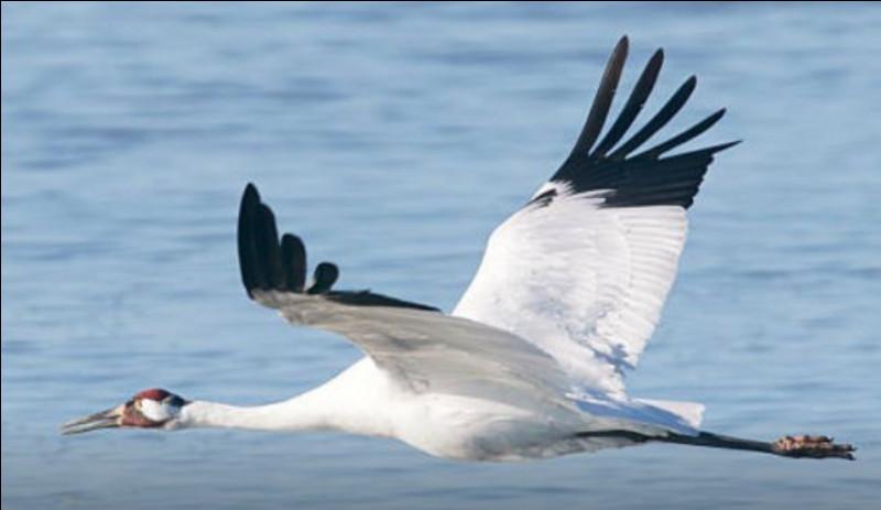 Quel est cet oiseau, le plus grand d'Amérique du Nord avec 2 mètres d'envergure, animal robuste datant de 60 millions d'années dont il ne reste plus qu'environ 300 individus ?