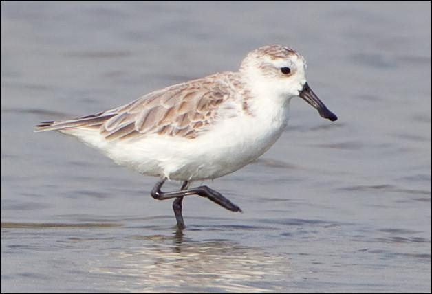 Quel est ce petit oiseau de Sibérie mesurant de 14 à 15 cm, caractérisé par un bec en spatule dont il ne reste plus que 400 individus ?
