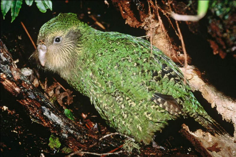 Quel est cet oiseau, le seul perroquet au monde incapable de voler en raison de sa corpulence et de ses ailes trop courtes, c'est un animal nocturne endémique de Nouvelle-Zélande ?