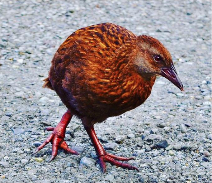 Quel est ce drôle d'oiseau effronté qui ne vole pas mais court et nage très bien, il est endémique de la Nouvelle-Zélande ?