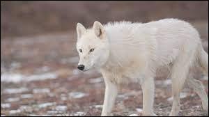 En quelle année le loup a été réintroduit ?