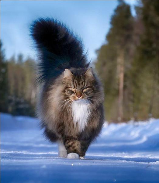Quel est le plus gros chat et combien pèse-t-il ?