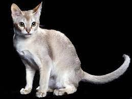 Quel est le plus petit chat et combien pèse-t-il ?