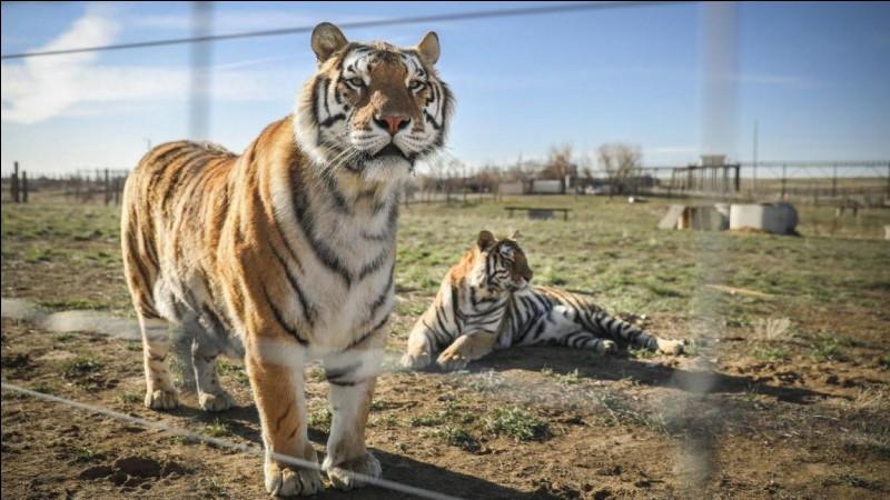 Comment appelle-t-on le petit du tigre et de la lionne ?