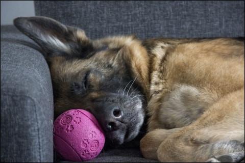 Combien de temps dort un chien ?
