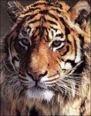 Existe-t-il des tigres en Afrique ?