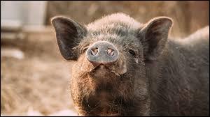 """Comment dit-on le """"cochon"""" en anglais ?"""