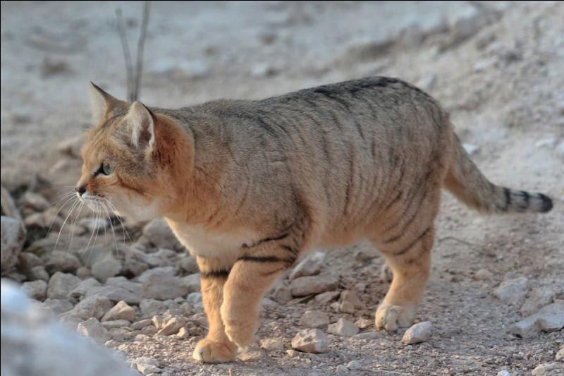 Tout d'abord, quelle est la famille du chat des sables ?