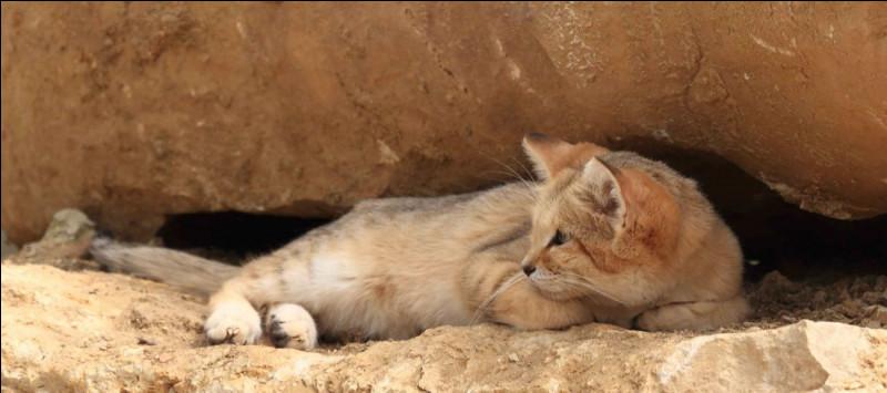 Quel est le régime alimentaire du chat des sables ?