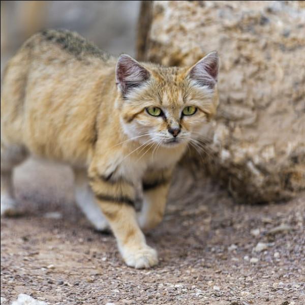 Quelle est la période de gestation d'une femelle chat des sables ?