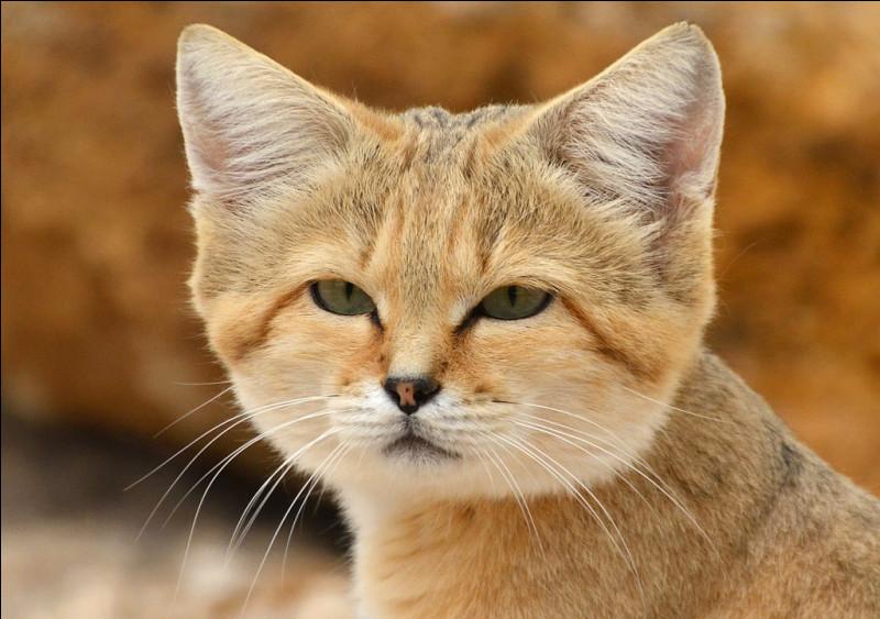 Quel est l'autre nom donné aux chats des sables ?