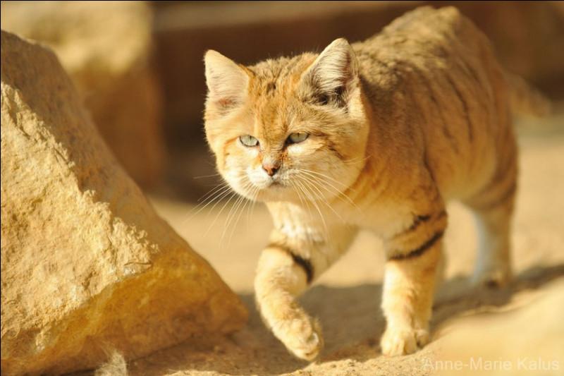 Le chat des sables peut s'attaquer à des vipère venimeuses.