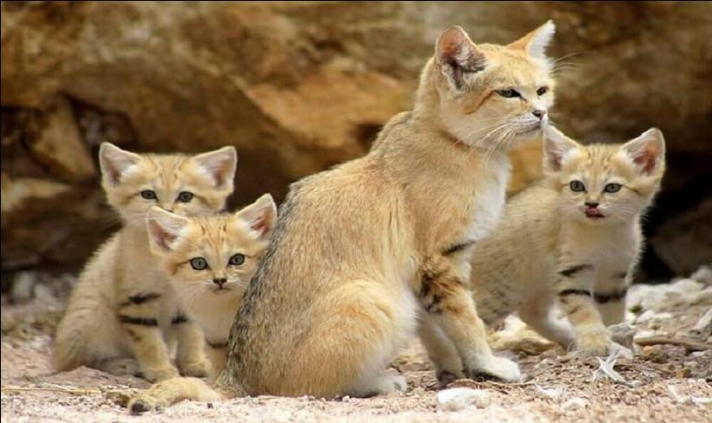 Dans quel continent est-il impossible de trouver un chat des sables ?