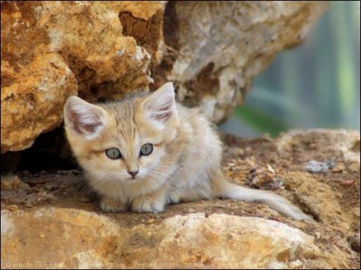 Bien souvent, le chat des sables chasse-t-il le jour ou la nuit ?