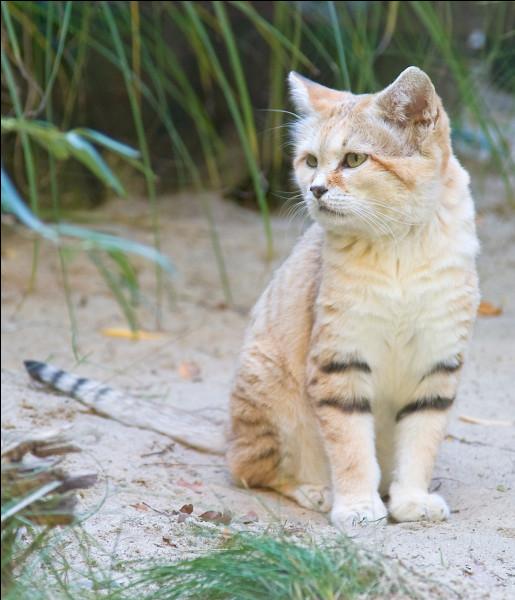 Comment le chat des sables échappe-t-il à ses prédateurs ?