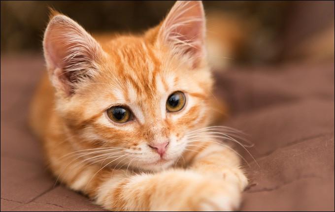 Le chat domestique partage-t-il un ancêtre commun avec le chat des sables ?