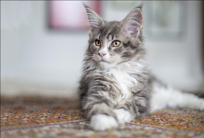 Le Maine coon est un chat célèbre pour ses hurlements, ses gargouillis et ses bavardages fréquents.