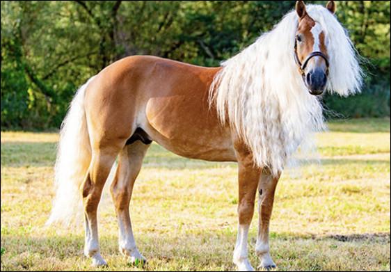 En 2003, l'haflinger devient le premier cheval cloné et donne naissance à une pouliche nommée…