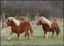 Quelle race de chevaux l'Ecole de Lisbonne utilise-t-elle ?