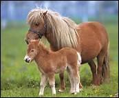 Grâce aux poneys Shetlands, à partir de quel âge les enfants peuvent-ils commencer à apprendre l'équitation, s'ils ont une taille suffisante ?