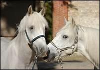 Pourquoi faut-il régulièrement graisser les sabots des chevaux ?