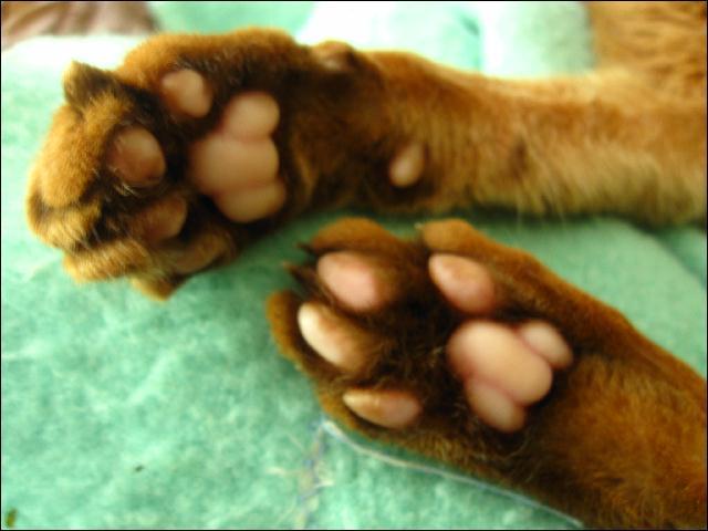 Les animaux qui marchent sur leurs doigts sont appelés :