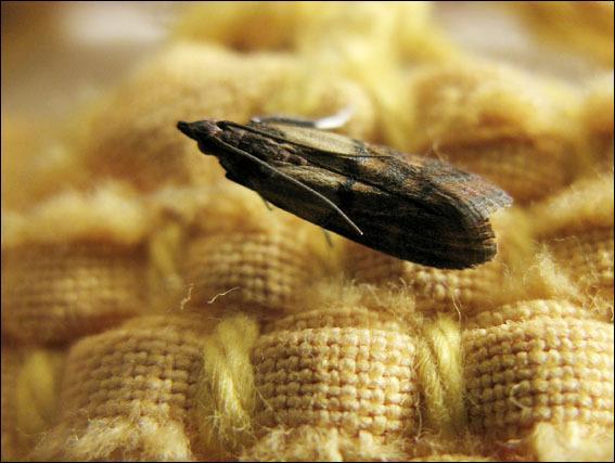 La mite est une larve qui donne naissance à un insecte appelé :