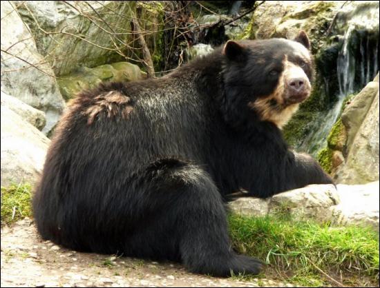 C'est le seul ours vivant en Amérique du Sud :