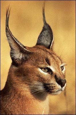 C'est un petit félin d'Afrique et d'Asie, dont le nom signifie 'oreille noire' en turc :