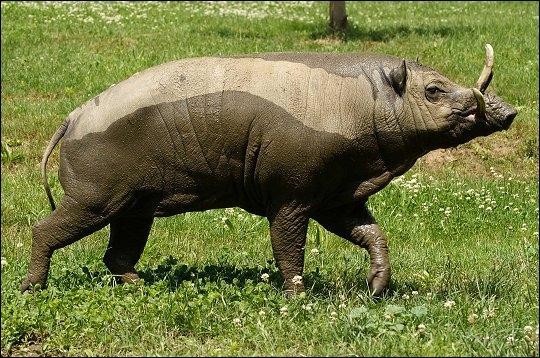 Cet animal proche du cochon vit en Indonésie :