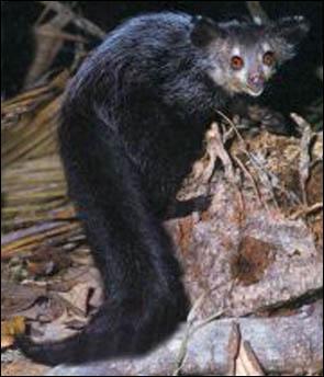 Comme le précédent, c'est un lémurien de Madagascar. Mais il a une vie exclusivement nocturne :