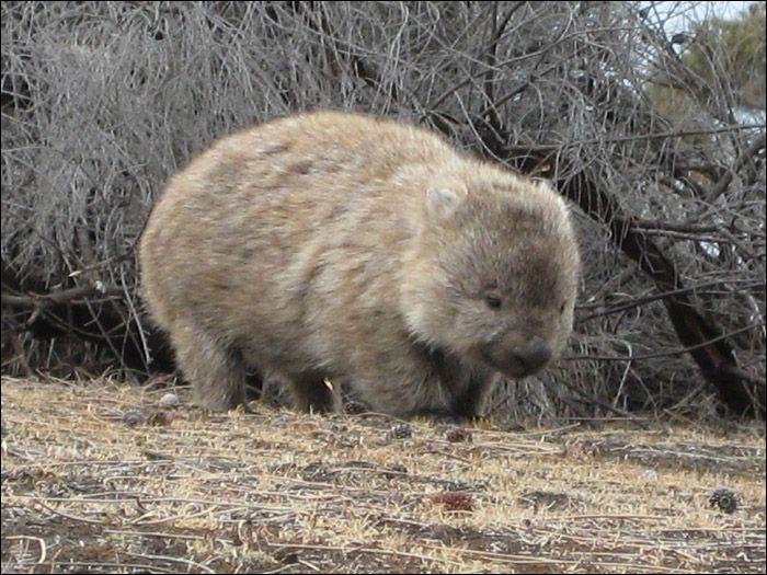 Quel est ce marsupial qui ressemble à un gros ourson ?