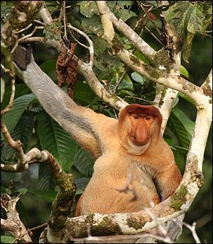 Ce singe de Bornéo est un habile nageur :