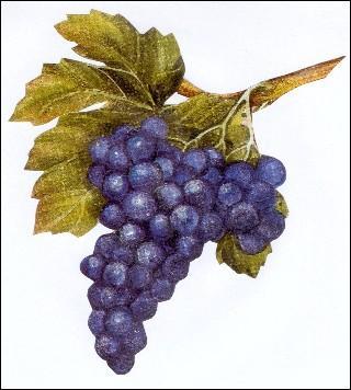 Le raisin est un