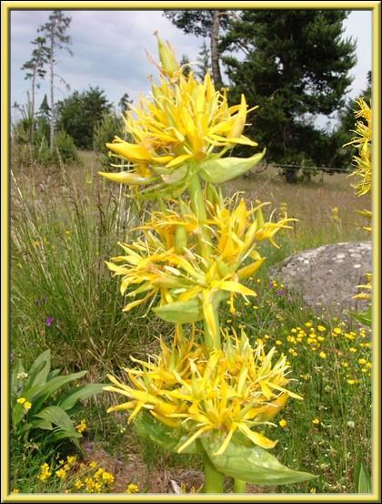 La Gentiane, fleur de montagne, est utilisée dans la confection :