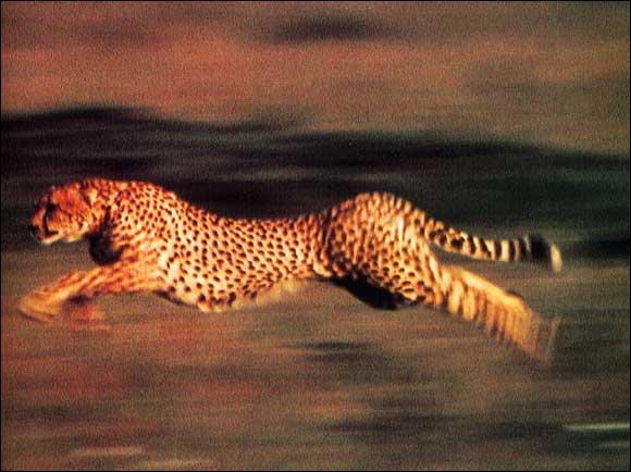 En 2 secondes, le guépard peut passer de 0 à...