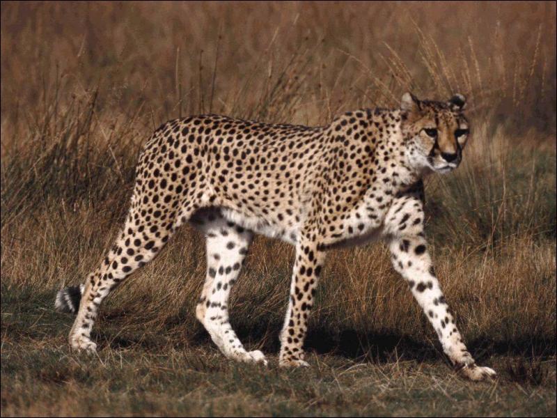 Les guépards sont aussi longs que...
