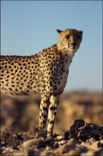 Dans le désert du Kalahari, ils peuvent survivre 10 jours...