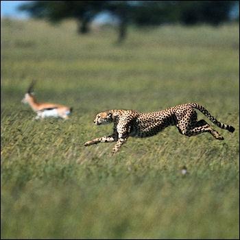 Lorsque le guépard course un animal, il abandonne la poursuite au bout de...