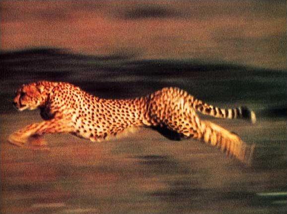 5 infos sur... le guépard